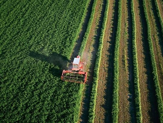 畑で収穫中
