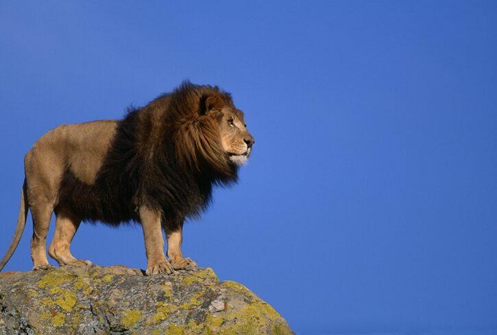 崖の上から見下ろす雄ライオン